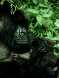 Mountain Gorilla  Parc National Des Volcans  Rwanda
