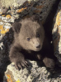 Grizzly Bear Cub Between Rocks  Montana  USA