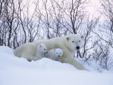 Polar Bears  Mother with Very Young Cubs Just Leaving Winter Den  Manitoba  Canada