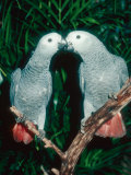 African Grey Parrot  Pet Portrait  California  USA