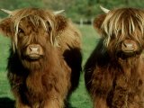 Highland Cattle  9 Month Old Calves  Scotland