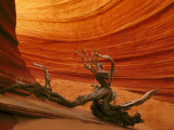 Snag Among Slickrock Formation  Coyote Buttes Area of Paria Canyon