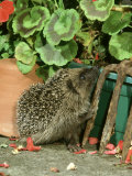Hedgehog  Climbing up into Flower Container