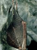 Lesser Horseshoe Bat  Hibernating  Mid-Wales