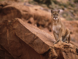 Mountain Lion in Canyonlands of Utah  USA