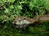 European Otter  May  UK
