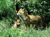 Fox  Vixen with Cub  Surrey