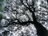 Old Oak Tree Limbs Against the Sky  TX