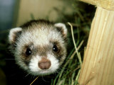 European Polecat  Young  UK