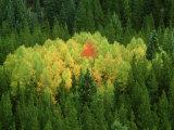 Aspen Trees  Pattern in Autumn  Colorado