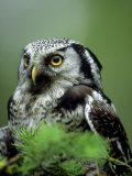Northern Hawk Owl  Portrait  Montana  USA