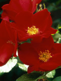 Rosa &quot;Robusta&quot; Syn R &quot;Kordes Robusta &quot; (Rose)  Rugosa Rose