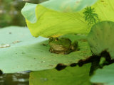 Bullfrog  Rana Catesbeiana on Lilypad