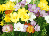 Freesia  Mixed Colours