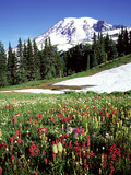 Alpine Meadow & Mount Rainier  Mount Rainier National Park  USA