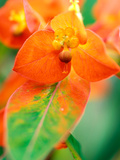 "Euphorbia Griffithii ""Fireglow "" Close-up of Orange Flower Bract"