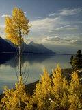 Evening Light on Aspen Trees Along the Shore of Jackson Lake  Wyoming