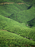Tea Plantation  W Malaysia