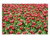 FL-03A Tulips