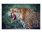 Leopard  Nairobi National Park  Kenya
