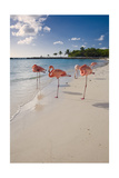 Caribbean Beach With Pink Flamingos  Aruba