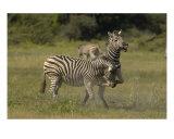 Zebra Conflict