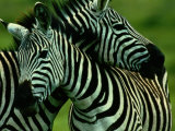 Burchells Zebras