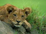 A Lion Cub Crouches on a Rock