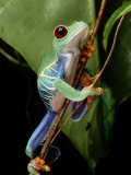 A Red-Eyed Tree Frog Climbing a Vine