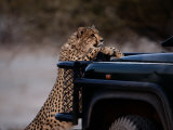 An African Cheetah Leans on a Tourist Vehicle While Waiting Expectantly for Food