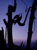 Peacocks Silhouetted in Remains of Trees after Hurricane Andrew