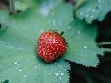 A Ripe Red Strawberry Lying on a Leaf