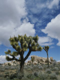 A View of Joshua Trees and Rock Formations in Joshua Tree National Park