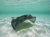 A Southern Stingray Glides Gracefully Through Pristine Water