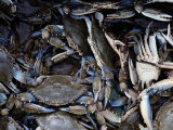 Close-up of Blue Crabs Caught in a Crab Pot