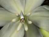 Yucca Moth on a Yucca Flower