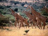 A Herd of Masai Giraffes on the African Plains