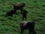 A Family of Gorillas (Gorilla Gorilla Gorilla) Foraging for Food in the Bai