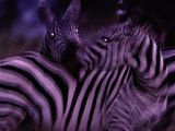 Blurred View of a Pair of Zebras