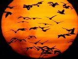 A Flock of Geese is Silhouetted against the Setting Sun