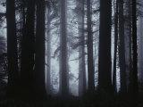 Morning Fog Envelopes Giant Redwood Trees