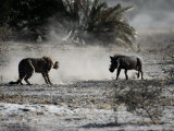 An African Cheetah and a Warthog Kick up Clouds of Dust in a Tense Confrontation