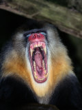 A Captive Mandrill Bares its Teeth in Warning