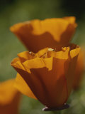 Close View of California Poppies