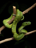A Yellow-Lined Palm Viper