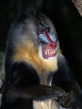 A Captive Mandrill (Papio Sphinx) Shows its Teeth in Warning