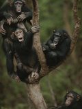 Social Climbers Sound off at a Chimp Klatch in a Tree