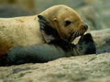 A Steller Sea Lion Cow Exchanges a Kiss with Her Pup