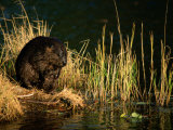 A Beaver Perches on the Waters Edge Near Quabbin Reservoir