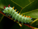 The Caterpillar of a Cecropia Moth Feeds on a Leaf